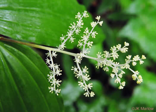 flower of Maianthemum racemosum ssp. racemosum, False Solomon's Seal, Eastern Solomon's Plume