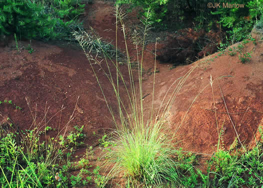 image of Eragrostis curvula, Weeping Lovegrass