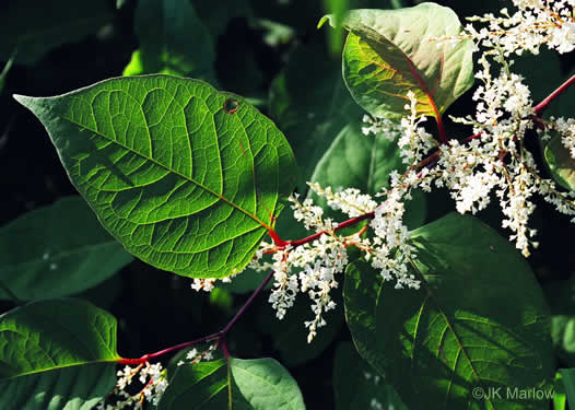flower of Reynoutria japonica, Japanese Knotweed