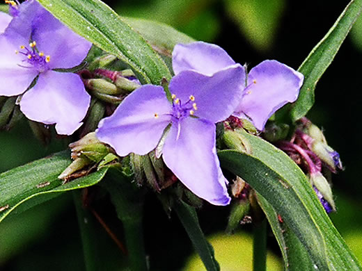 flower of Tradescantia subaspera, Zigzag Spiderwort, Wide-leaved Spiderwort