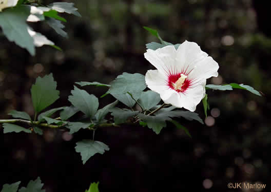 image of Hibiscus syriacus, Rose-of-Sharon, Althea