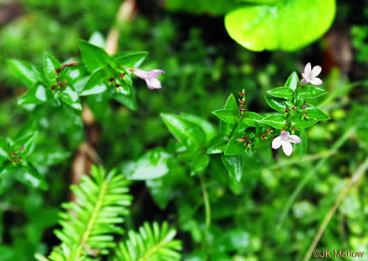 flower of Houstonia montana, Roan Mountain Bluet