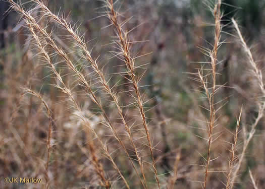 awn: Aristida purpurascens, Aristida purpurascens var. purpurascens, Aristida purpurascens