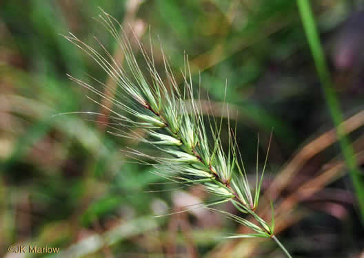 sessile: Elymus virginicus, Virginia Wild-rye, Common Eastern Wild-rye, Terrell Grass