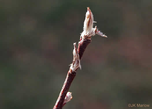 picture of Amelanchier sanguinea, image of Amelanchier sanguinea