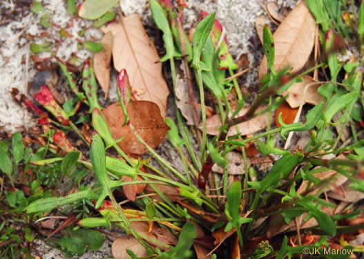 image of Rumex hastatulus, Wild Dock, Sourgrass, Heartwing Sorrel, Wild Sorrel