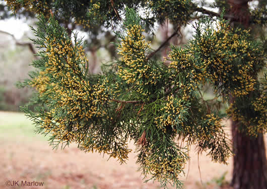 flower of Juniperus silicicola, Southern Red Cedar, Coastal Red Cedar