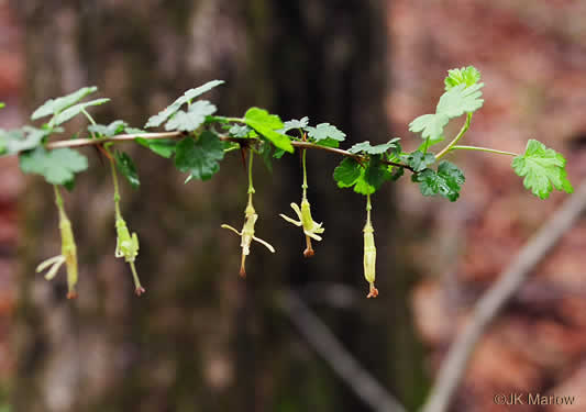 sepals or bracts of Ribes echinellum, Miccosukee Gooseberry, Spiny Gooseberry, Florida Gooseberry