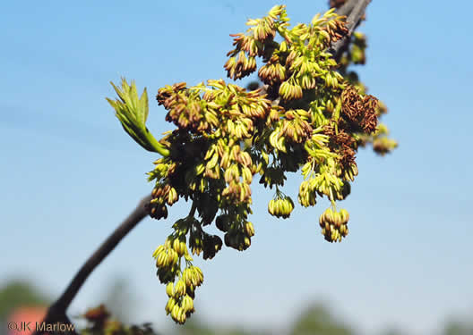 flower of Fraxinus pennsylvanica, Green Ash, Red Ash