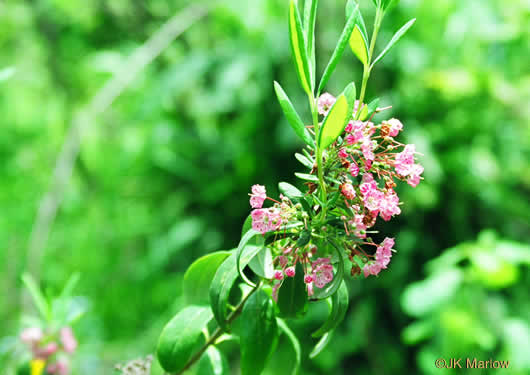 image of Kalmia carolina, Southern Sheepkill, Carolina Wicky, Carolina Sheep Laurel, Carolina Bog Myrtle