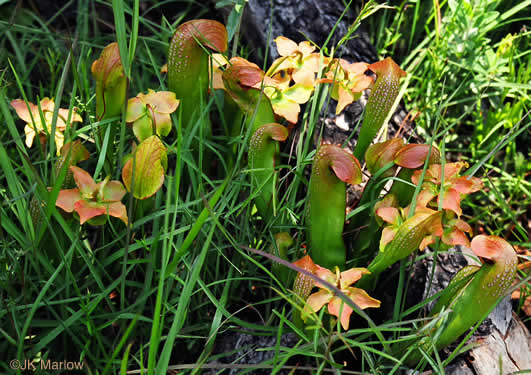 image of Sarracenia minor var. minor, Hooded Pitcherplant