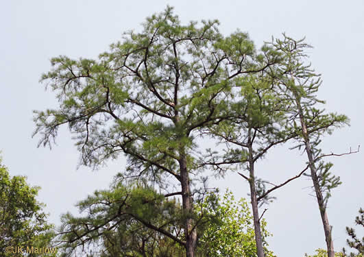 image of Taxodium ascendens, Pond Cypress