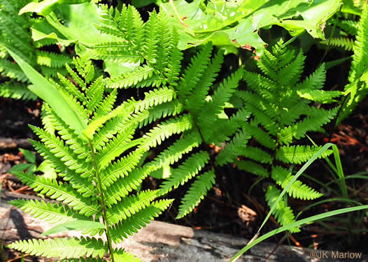 image of Anchistea virginica, Virginia Chain Fern
