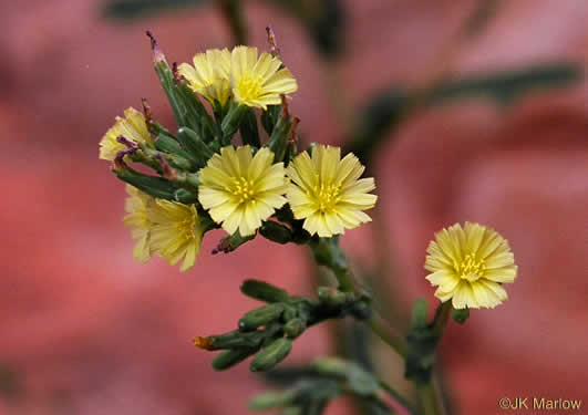 image of Lactuca serriola, Prickly Lettuce