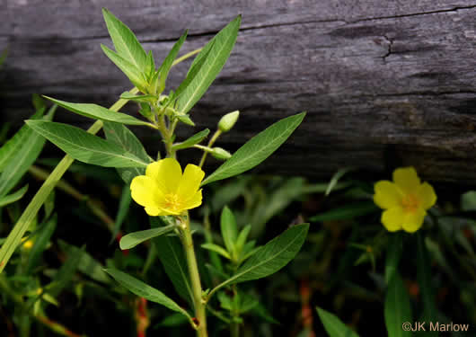 flower of Ludwigia grandiflora, Showy Water-primrose, Large-flower Water-primrose