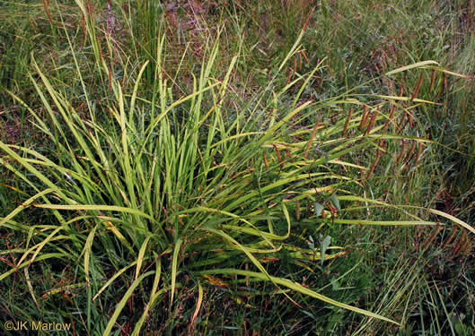 image of Carex crinita var. crinita, Fringed Sedge, Drooping Sedge