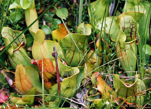 glabrous: Sarracenia purpurea var. purpurea, Northern Purple Pitcherplant