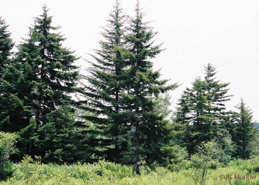 Picea rubens, Red Spruce, He Balsam