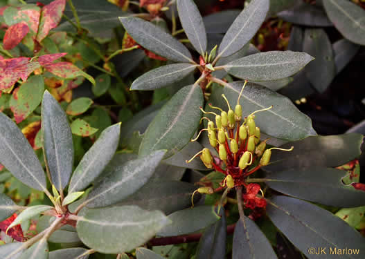 capsule: Rhododendron maximum, Rosebay Rhododendron, Great Laurel, White Rosebay, Great Rhododendron