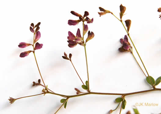image of Lespedeza repens, Smooth Trailing Lespedeza, Creeping Lespedeza, Creeping Bush-clover