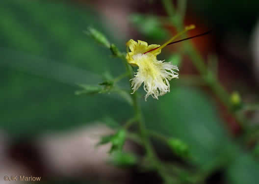 picture of Collinsonia canadensis, image of Collinsonia canadensis
