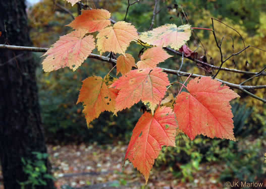 picture of Acer spicatum, image of Acer spicatum