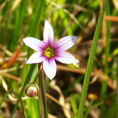 flower of Sisyrinchium rosulatum, Annual Blue-eyed Grass, Lawn Blue-eyed Grass