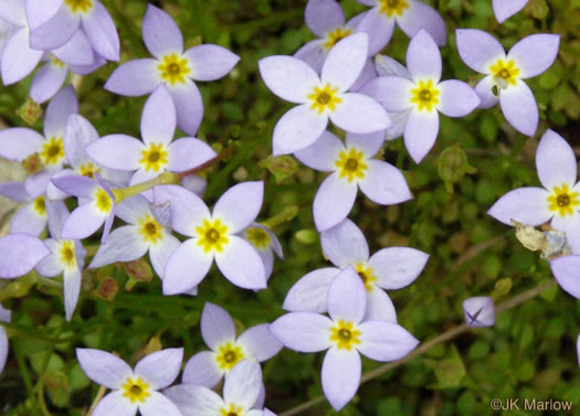 flower of Houstonia serpyllifolia, Thyme-leaved Bluet, Appalachian Bluet, Prostrate Bluet, Marsh Bluet