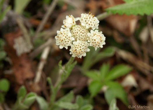 image of Antennaria parlinii ssp. fallax, Big-head Pussytoes