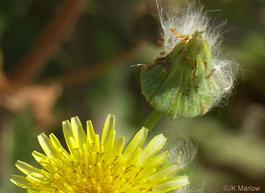 image of Sonchus oleraceus, Annual Sowthistle, Common Sowthistle