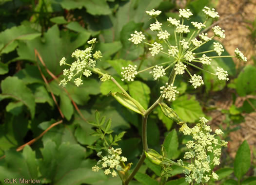 flower of Angelica venenosa, Hairy Angelica, Downy Angelica, Deadly Angelica