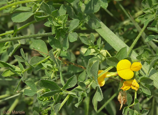 image of Lotus corniculatus, Birdsfoot-trefoil, Eggs-and-Bacon