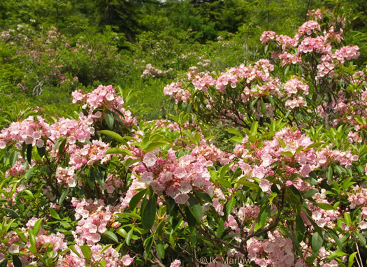 image of Kalmia latifolia, Mountain Laurel, Ivy, Calico-bush, Mountain Ivy