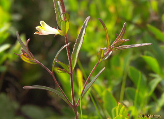 image of Melampyrum lineare +, Cow Wheat