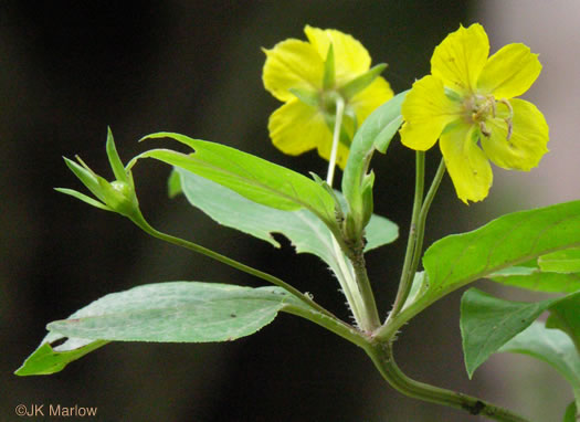 flower of Lysimachia ciliata, Fringed Loosestrife