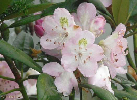 image of Rhododendron maximum, Rosebay Rhododendron, Great Laurel, White Rosebay, Great Rhododendron