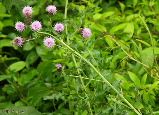 flower of Cirsium arvense, Canada Thistle, Field Thistle