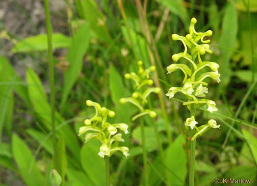 image of Platanthera clavellata, Small Green Wood Orchid, Club-spur Orchid, Woodland Orchid, Streamhead Orchid