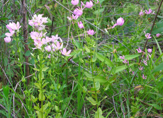 image of Sabatia angularis, Rose-pink, Bitterbloom, Common Marsh-pink