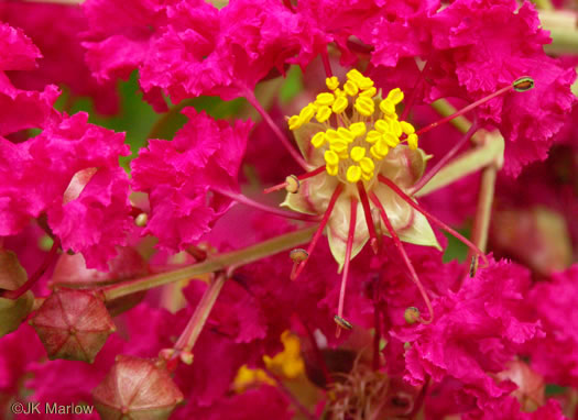 image of Lagerstroemia indica, Crape-myrtle