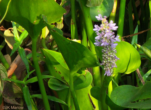 image of Pontederia cordata var. cordata, Heartleaf Pickerelweed, Wampee