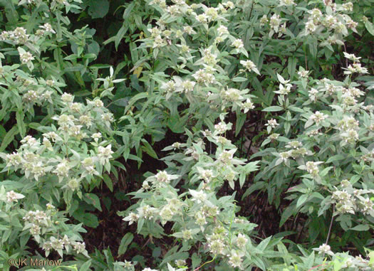 rhizome: Pycnanthemum montanum, Appalachian Mountain-mint