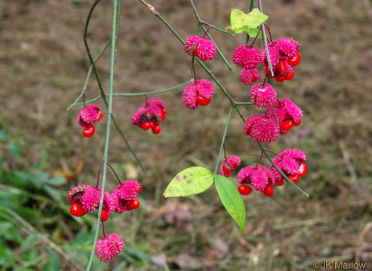 image of Euonymus americanus, Hearts-a-bustin', Strawberry-bush