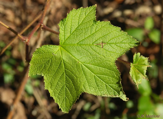 palmate: Rubus odoratus, Purple-flowering Raspberry, Thimbleberry