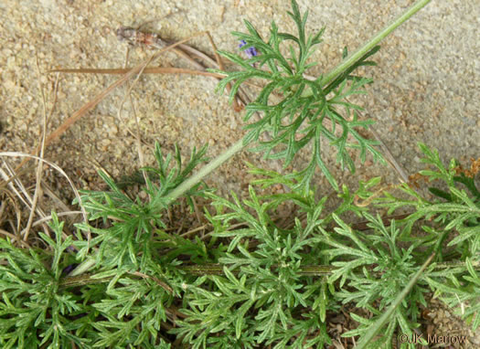 image of Glandularia pulchella, Moss Vervain, South American Vervain, Moss Verbena