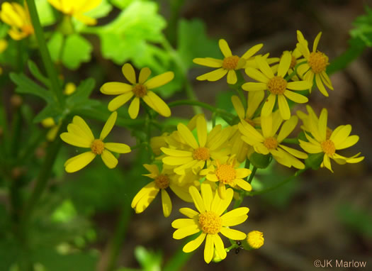 image of Packera glabella, Butterweed, Smooth Ragwort, Yellowtop