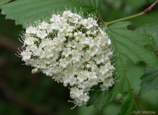 flower of Viburnum dentatum, Arrowwood