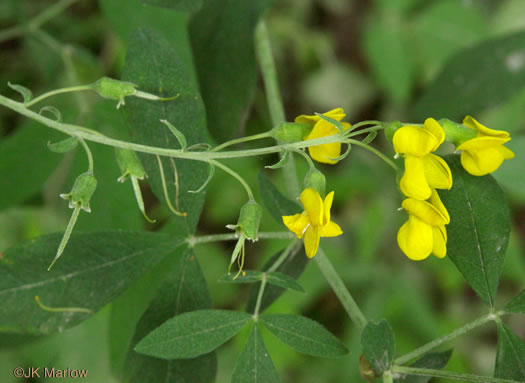 image of Thermopsis fraxinifolia