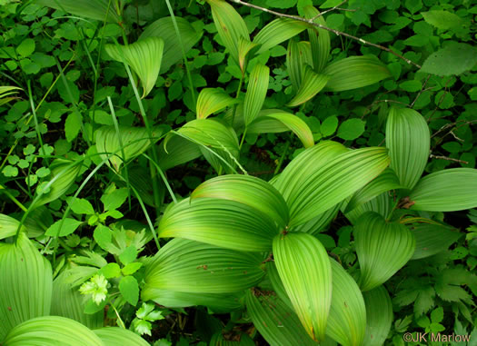 image of Veratrum viride, White-hellebore, Indian Poke, False Hellebore, Cornhusk Lily