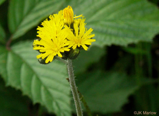 image of Pilosella caespitosa, Field Hawkweed, Yellow King-devil, Meadow Hawkweed